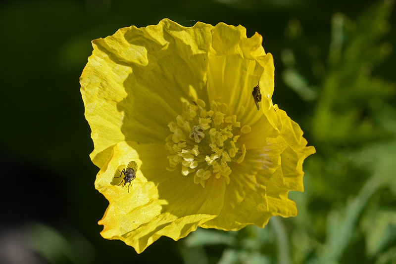 welsh poppy with flies