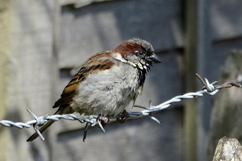 wet saprrow on barbed wire