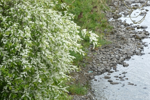 white blossom beside esk