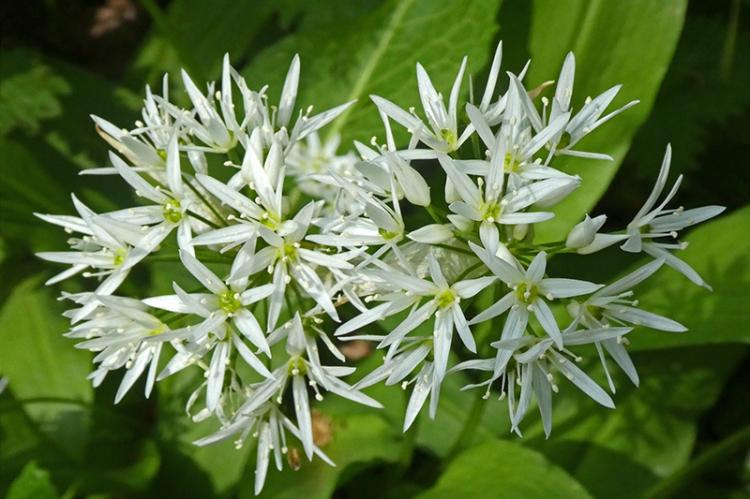 wild garlic may