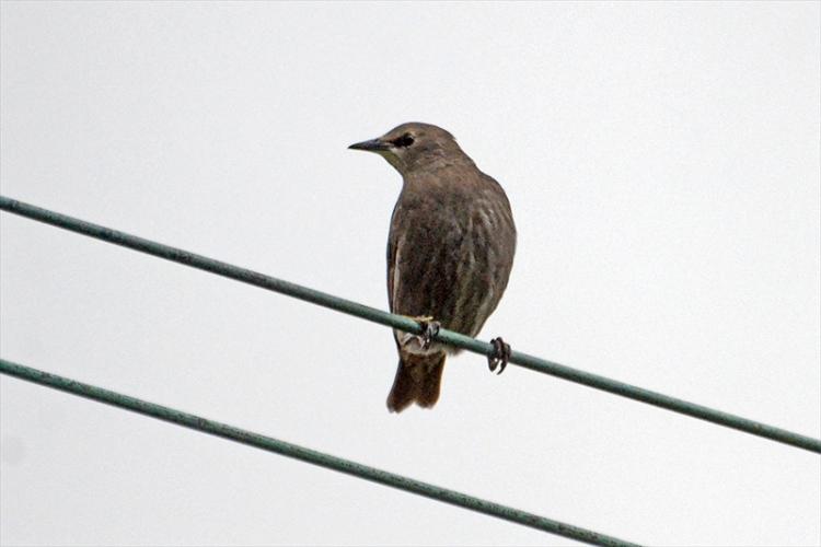 yoiung starling