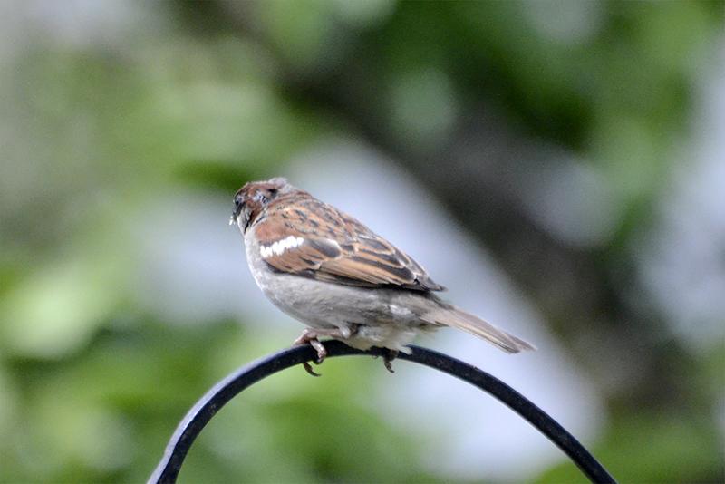 adult sparrow