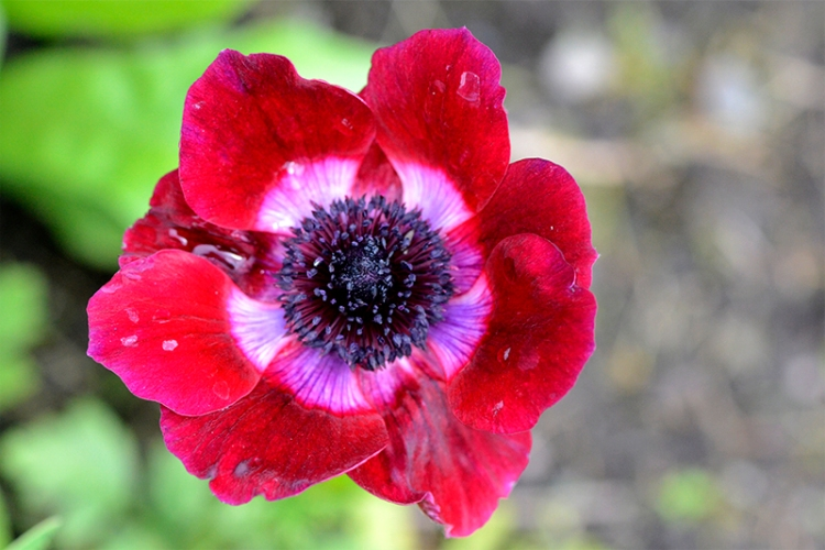 anemone open