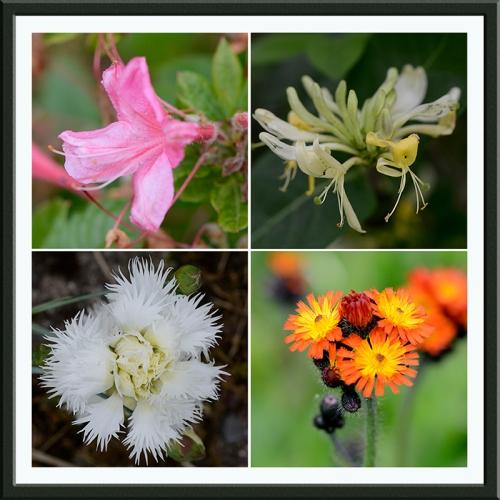 azalea, honeysuckle, pink,hawkweed