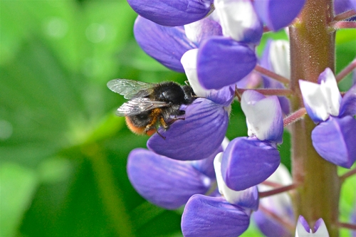 bee on blue lupin