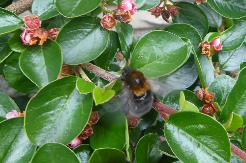 bee on cotoneaster again