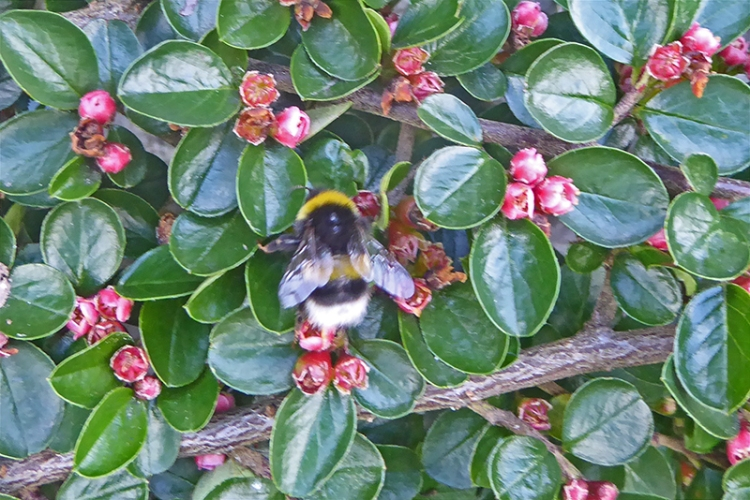 bee on cotoneaster