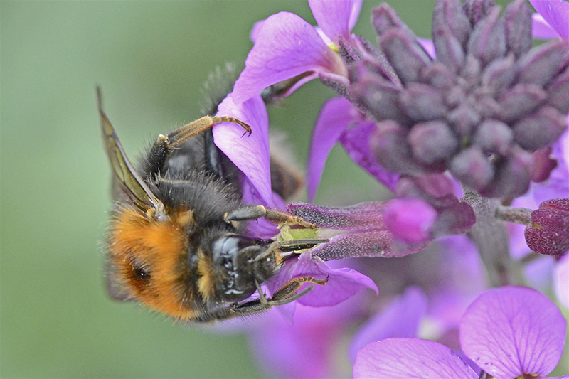 bee on wallflower