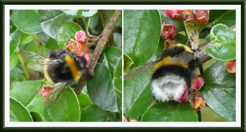 bees on contoneaster horizontalis