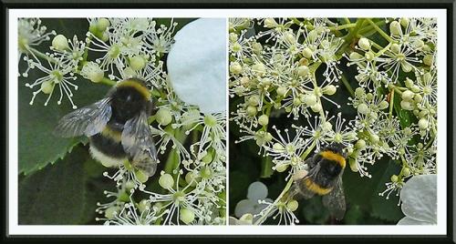 bees on hydrangea