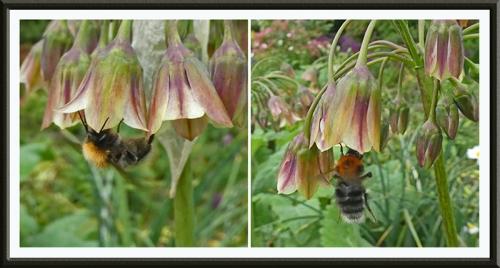 bees on nectaroscordum