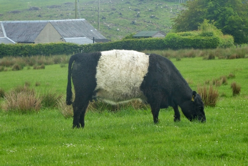 belted galloway grazing