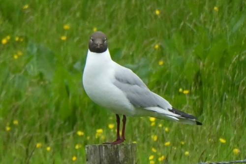 black headed gull on post