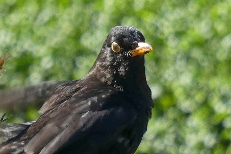 blackbird on fence.