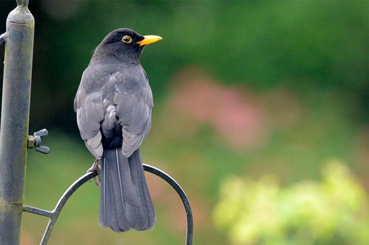 blackbird posing nf