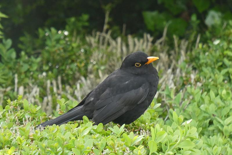 blackbird sideways look