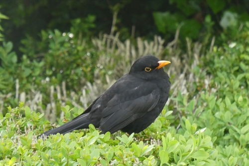blackbird sideways look
