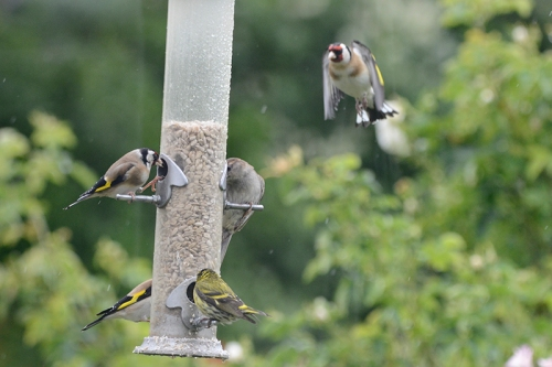 busy feeder with goldfinch