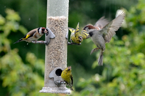 busy feeder with sparrow