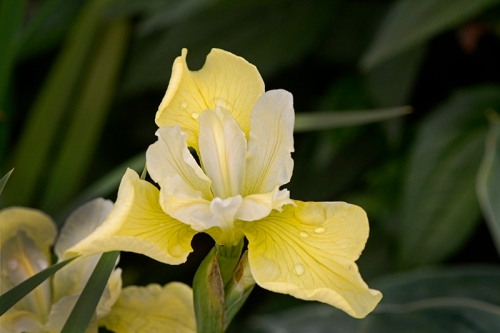 butter and sugar iris