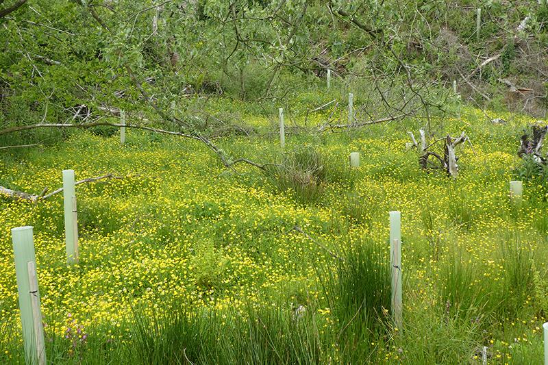 buttercup meadow becks