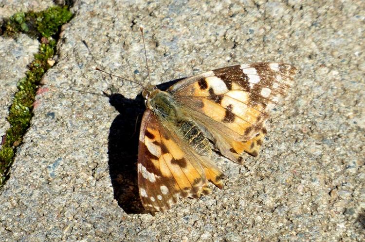 butterfly way