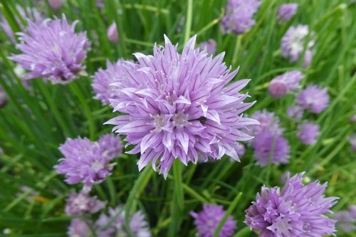 chives looking good