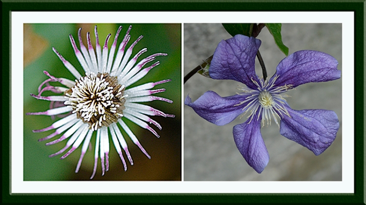 clematis seed head and flower