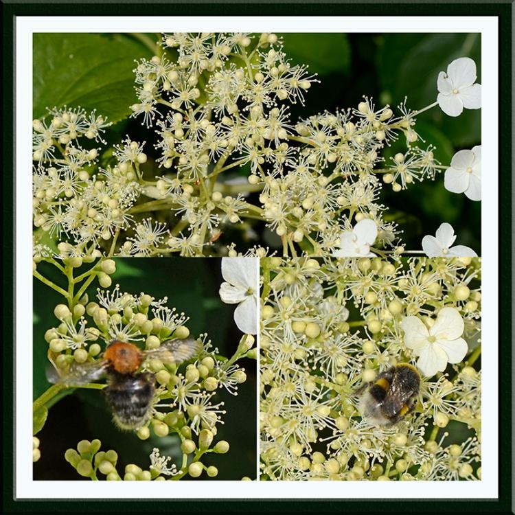 climbing hydrangea with bees