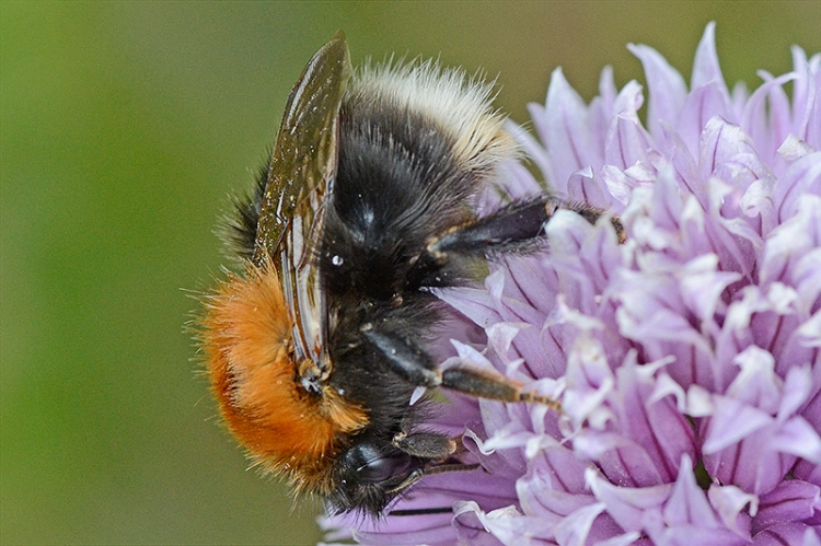 close up on chive bee