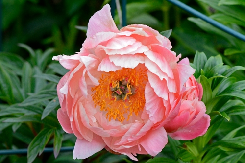 coral peony out