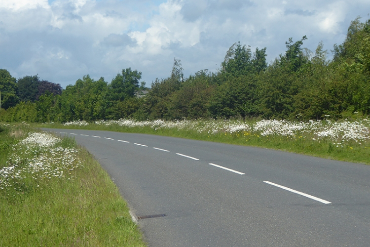 daisies beside M6 service road