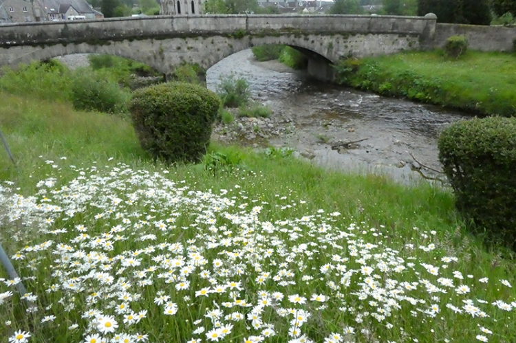 daisies beside Wauchope