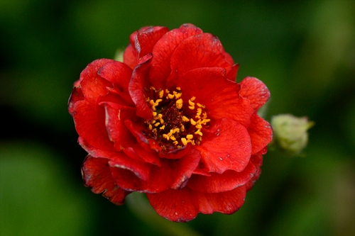 deep red geum