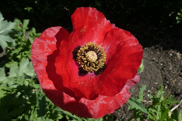 first red poppy