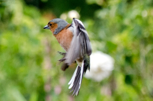 flying chaffinch June