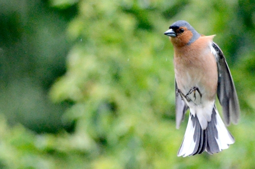 flying chaffinch new feeder