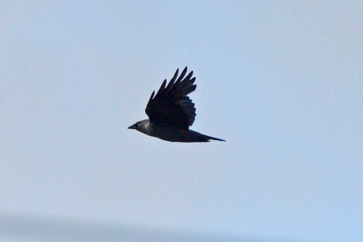flying rook