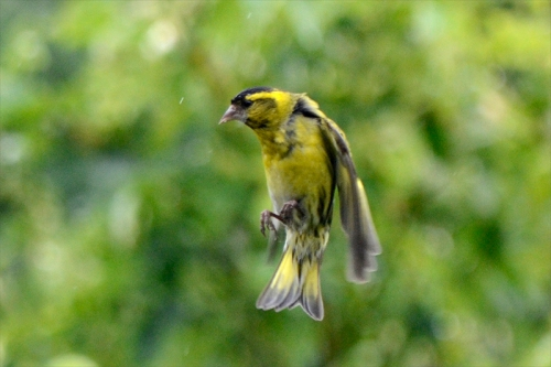 flying siskin in rain