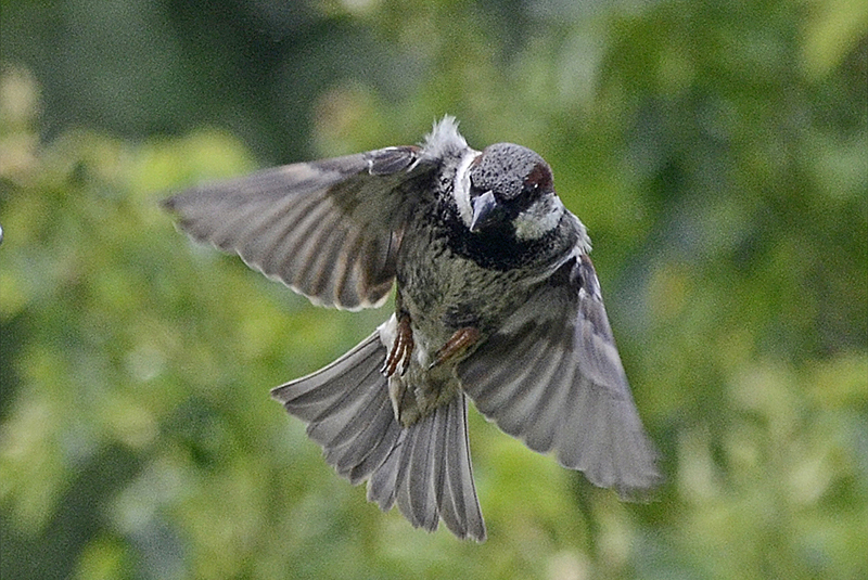 flying sparrow looking