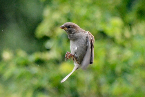 flying sprrow young
