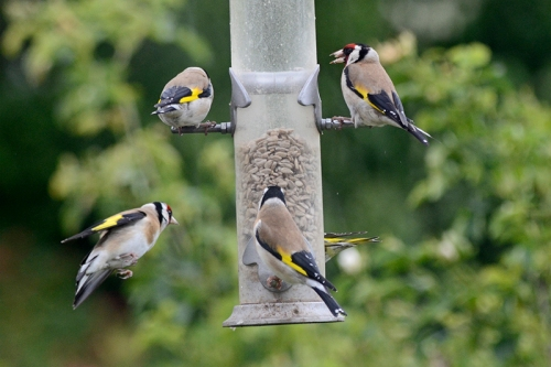 four goldfinches and a siskin