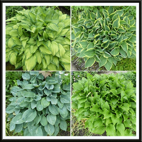 four hostas june