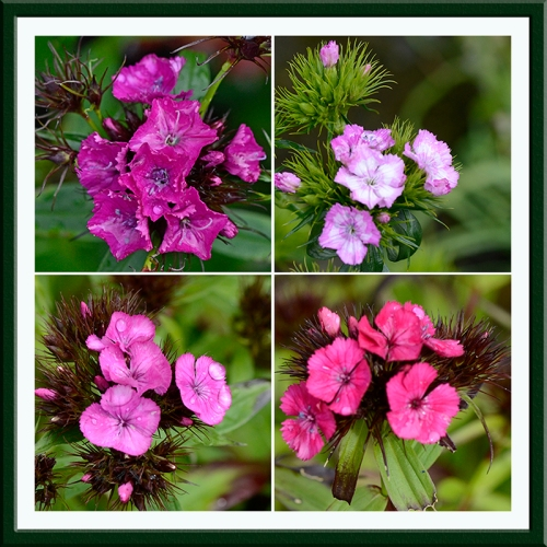 four sweet william