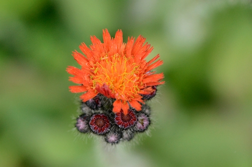fox and cubs hawkweed
