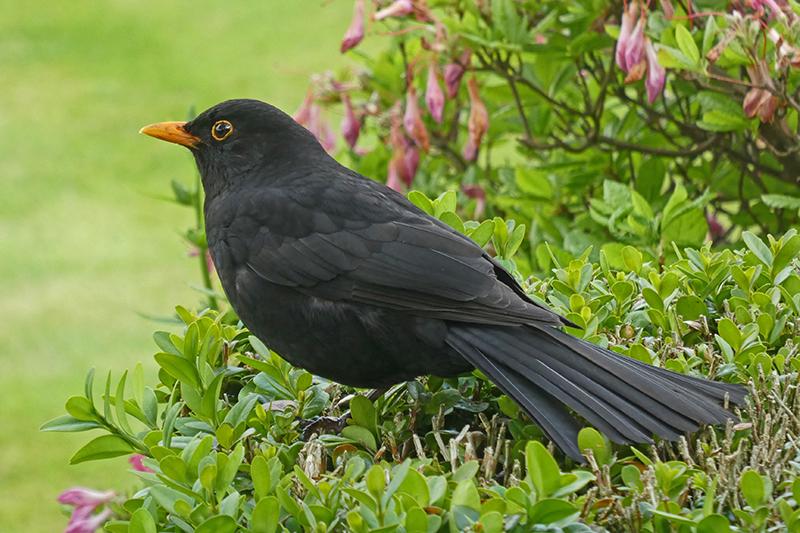 full blackbird portrait