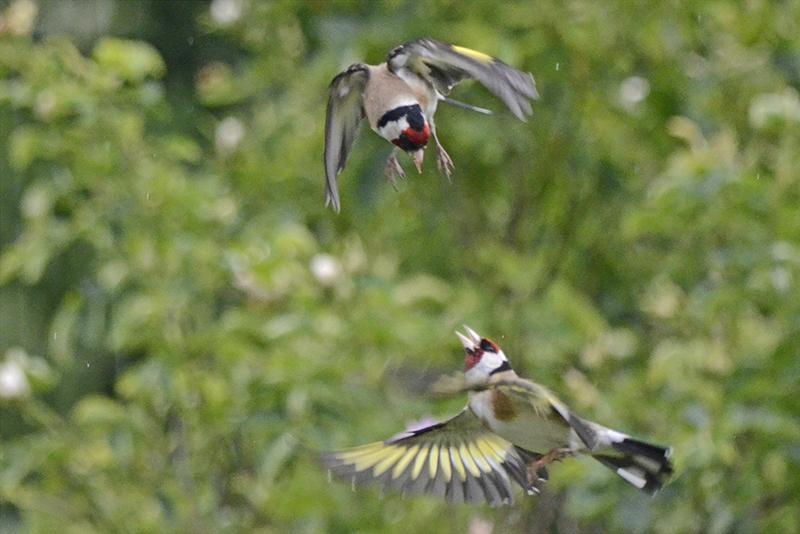 goldfinch aerial combat