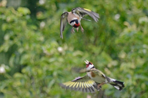 goldfinch aerial combat