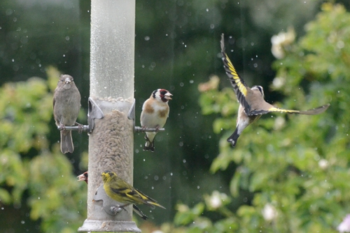 goldfinch going nf