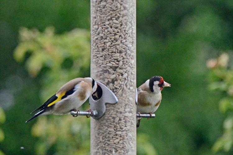 goldfinch looking sideways